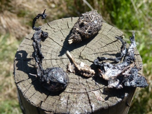 Owl pellet and petrified frog