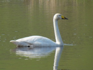 Whooper Swan at Levenmouth