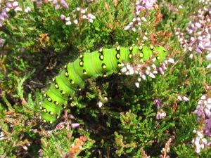 No 3 Emperor Moth caterpillar , 13th AUG 2012.x