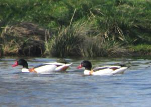 Shelducks - male in front with a thicker chestnut band, and a larger, redder bill plate