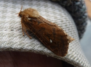 Map-winged Swift