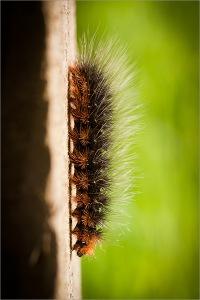 Tiger moth caterpillar