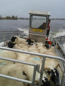 Steve with sheep on the new boat