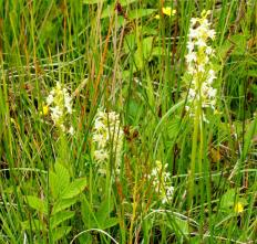 Lesser Butterfly Orchids