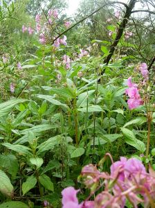 A patch of balsam