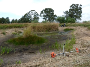 The area around the ponds was cut to promote good feeding habitat for wintering ducks