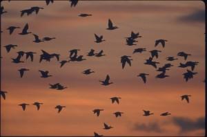 Flock of Pinkies
