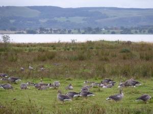 Greylag Geese on Carsehall