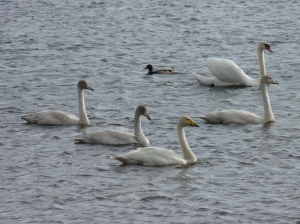 Whooper Swan with young - see the Mute Swan top right for comparison