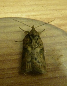 Oak Nycteoline, or as Tim referred to it- 'The Unpronounceable moth'!