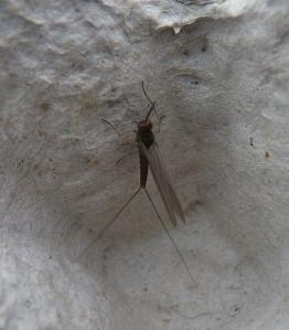 Mayfly spp.