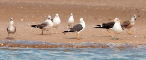 T51E is the young gull furthest to the right, photographed in the Bay of Cadiz on 17th October.