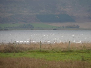Whooper Swans gave us a constant whooping chorus throughout the day- a record Loch Leven count of 804 has been recorded this year.