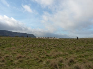 The sheep were kind enough to be on the near side of the island