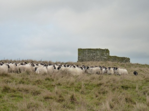 The flock with St Serf's Priory behind