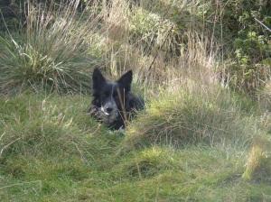 Kerry lies low in wait, guarding the herd.