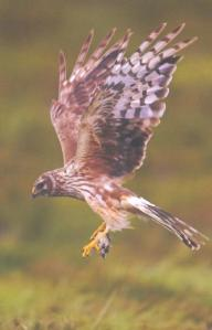 Hen Harrier (female) - Photo courtesy of David Whitaker