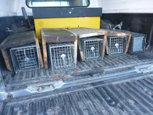 Squirrel traps cunningly concealed in wooden box frames