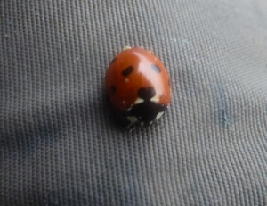This 7-spot Ladybird also made an appearance