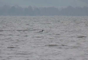 ..the breeding plumage of the diver can be best seen here.