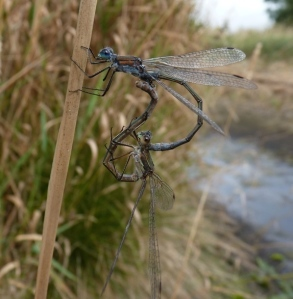 Emerald Damselflies have been recorded in these ponds