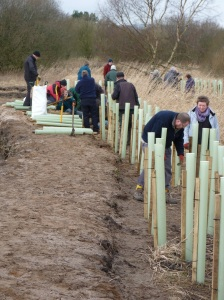 The first willow hedgerow goes in in double quick time