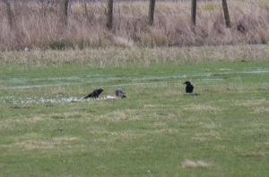 ...two nearby Crows fancy a bit of the spoils