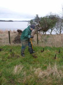 David works away.  Vole guards seen at this section, as deer fencing at this section already provides a primary level of protection.