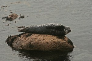 Selkie (Harbour Seal)