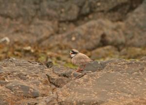 Sandiloo (Ringed Plover)