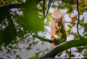 2nd Place - Red Squirrel by David Sharman