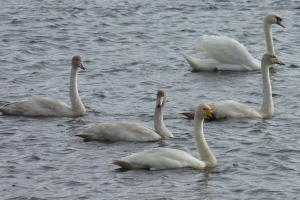 Whooper Swans may make an appearance