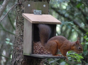 ...and away!  Our colleagues at RSPB doing their bit to keep the Red Squirrels happy! (Pics by Jeremy Squire)