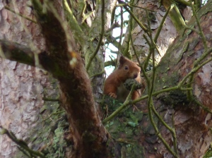 Red Squirrel foraging (by Jeremy Squire)