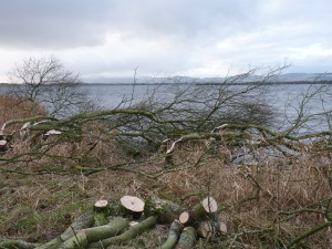 The shoreline willows were laid into the loch to maintain suitable cover for duck broods in the summer months.
