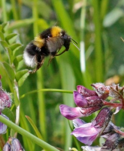 Garden Bumblebee approaching Bush Vetch