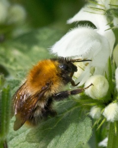 Common Carder Bumblebee on White Dead-nettle