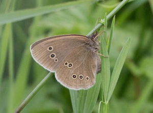 Butterflies can also be abundant, especially the Ringlet.  They may look drab at first glance, but closer inspection reveals the exquisite detail of their patterning.