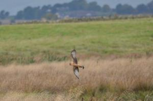 Hen Harriers are usually irregular visitors to Loch Leven..