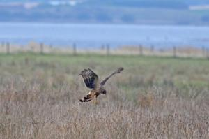 Perhaps a winter roost may be established here, which would of course lead to more sightings of this fantastic raptor.