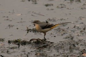 Grey Wagtail - regular breeder down here- we were delighted with one record on Noss this season!