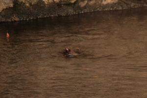 As we watched, it fell from the wall, and struggled frantically to swim back to safety...