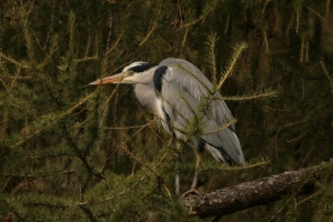 The most conspicuous of bankside dwellers along the River Leven has to be the Grey Heron, frquently flushed from various points, and occasionally content to pose on a branch.