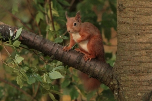 A couple of Red Squirrels have become regular visitors to the feeders in recent weeks.