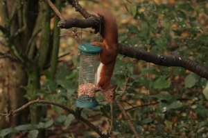 They are particularly partial to peanuts, and despite there being squirrel feeders available, they seem intent on foraging the hard way.
