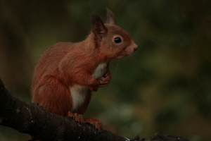 Red Squirrel sightings are becoming more regular locally, and this area is particularly interesting as it is shared by the invasive Grey Squirrel.