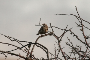 Another Mistle Thrush- a brute of a bird when compared to the smaller thrushes commonly encountered.