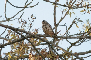 One of 3 Mistle Thrushes