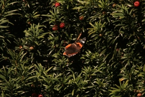 A Red Admiral settles on a Yew tree in the sunshine.