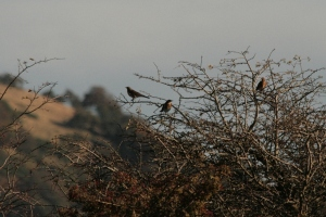 A wee flock of Fieldfare